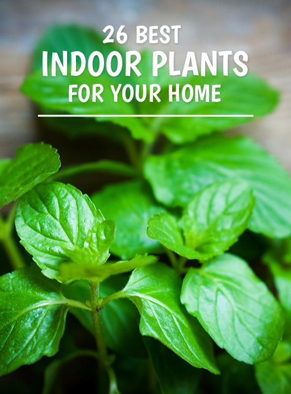 26 Best Indoor Plants for Your Home Long Lasting House Plants on colorful house plants, non-toxic house plants, small house plants, soothing house plants, robust house plants, weather proof house plants, hypoallergenic house plants, fragrant house plants, lightweight house plants, compact house plants, organic house plants, portable house plants, rugged house plants, elegant house plants, night blooming house plants, refreshing house plants, cool looking house plants, inexpensive house plants, strong house plants, easy to maintain house plants,