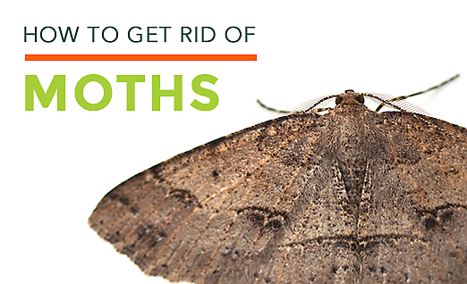 Clothes Moths Facts