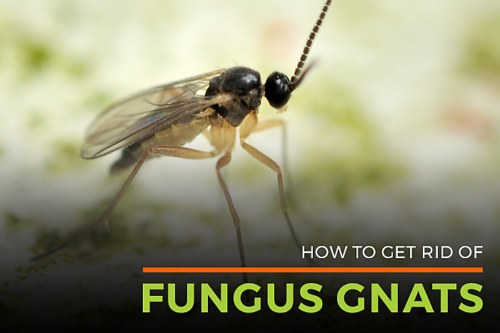 Fungus Gnat Lifespan | Gnat Killer | Life Cycle of Fungal Gnats