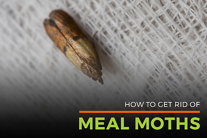 Meal & Pantry Moths Facts   Pantry Moth Control   Life Cycle