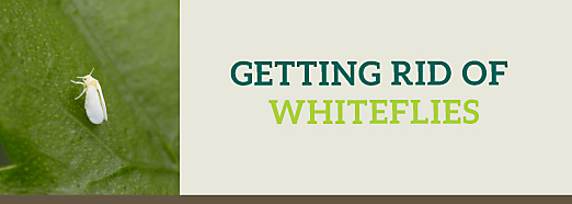How to get rid of whitefly organically uk