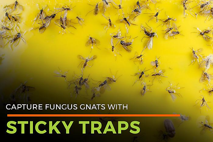Fungus Gnat Lifespan | Gnat Killer | Life Cycle of Fungal Gnats