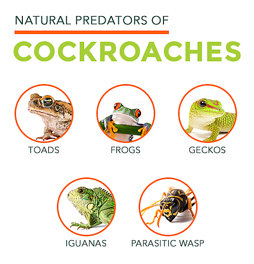 How long have cock roaches exostedi