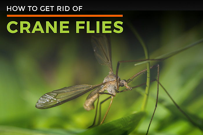 How to Get Rid of Crane Flies
