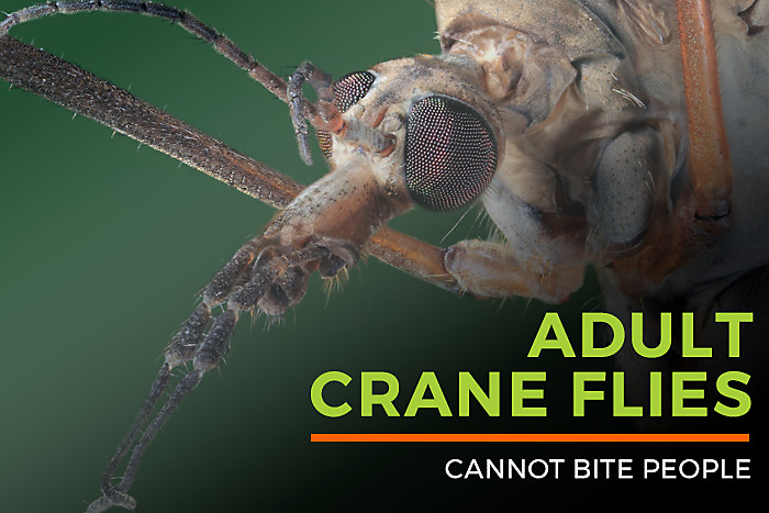 Adult Crane Flies Cannot Bite People