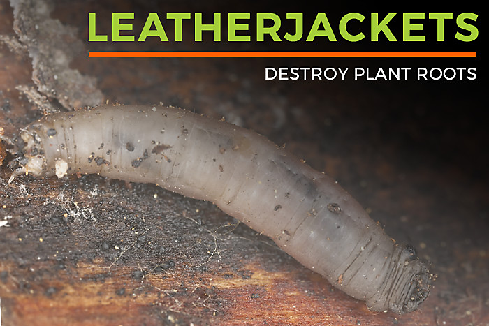 Leatherjackets Destroy Plant Roots