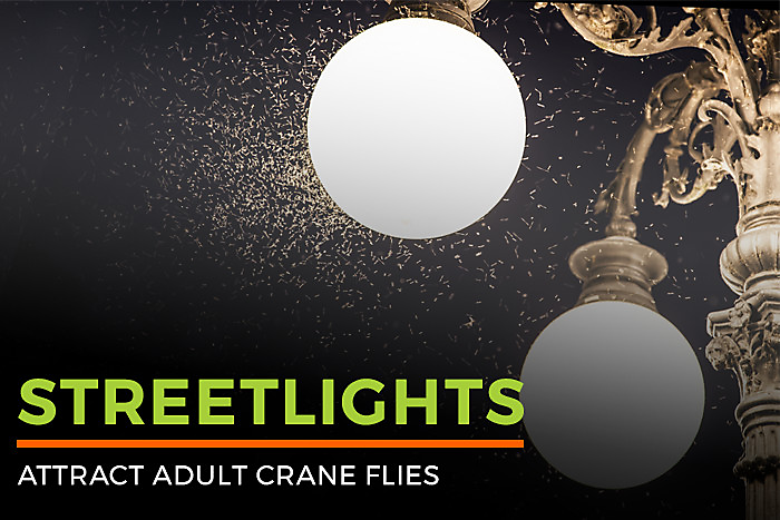 Streetlights Attract Adult Crane Flies