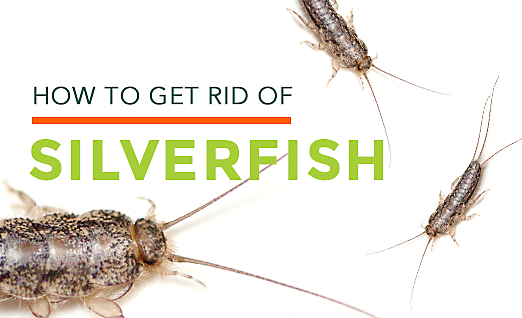 get rid of silverfish in bedroom