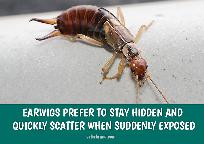 How to Kill Earwigs in Your Garden and Yard
