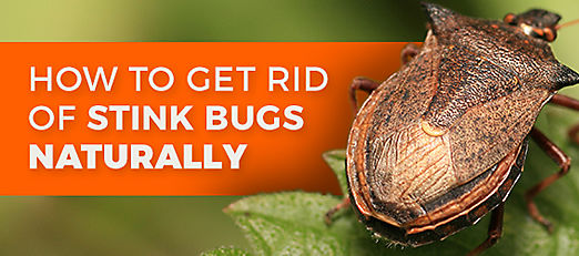how to get rid of stink bigs organic natural bug control crawling insects