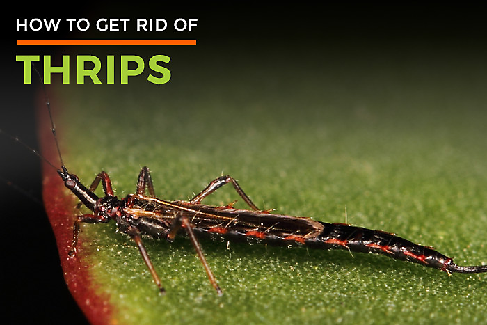 Thrips Life Cycle | Thrips Control | Thrip Killer