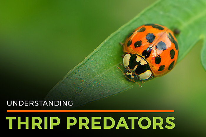 Understanding Thrip Predators