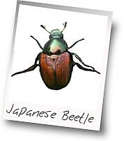 Japanese beetle sexual behavior