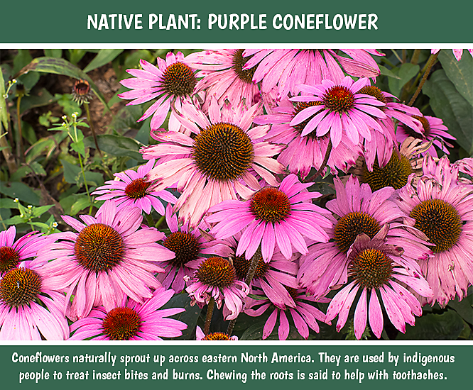 Tips for Native Plants Coneflowers