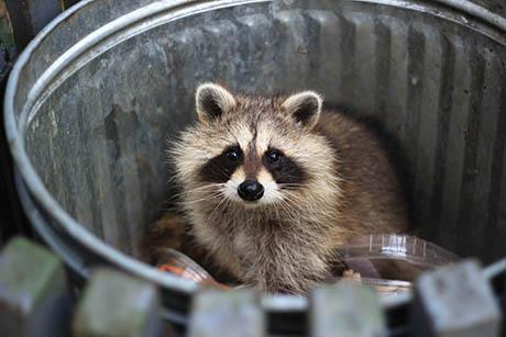 Raccoon scavaging food from a trash can