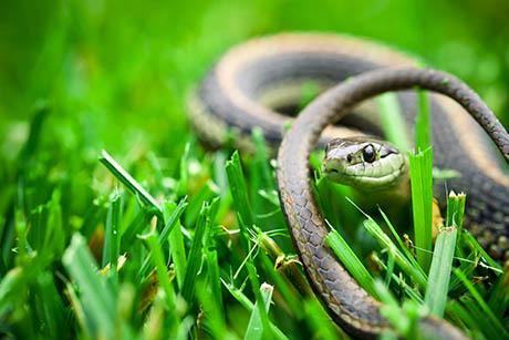 A snake taking cover in grass
