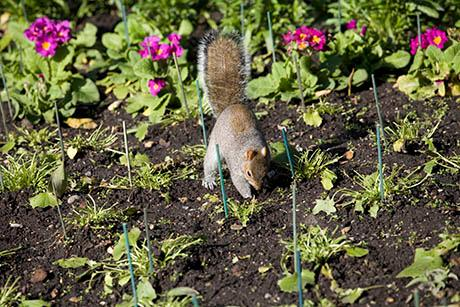 A squirrel digging in a garden