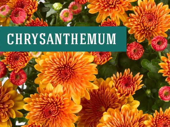 Chrysanthemum aka mum makes beautiful indoor plants that clean the air