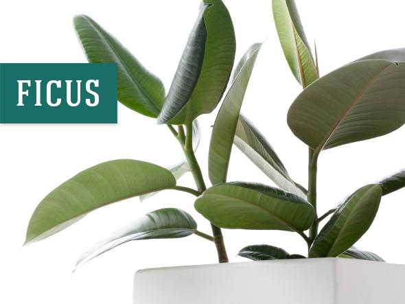 Best indoor plant that helps purify air - Ficus