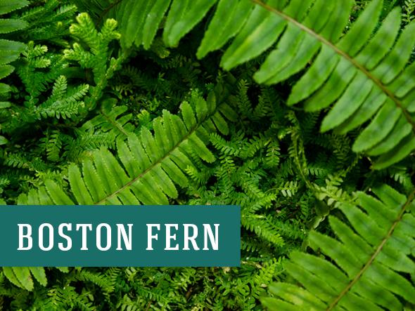 Boston Ferns are among the best air-purifying plants