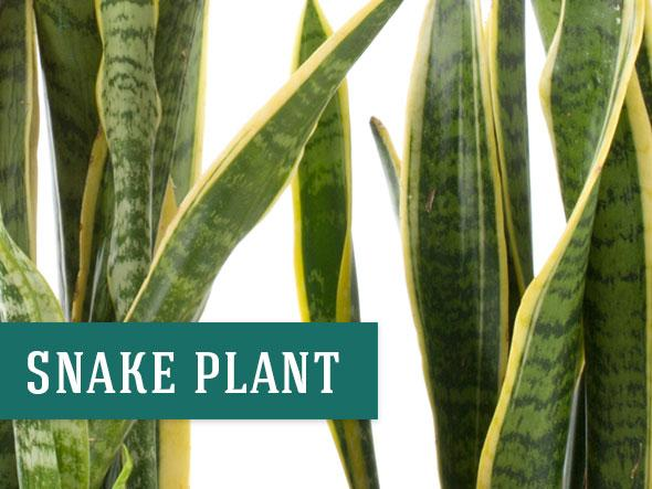 Snake Plants can help clean your indoor air