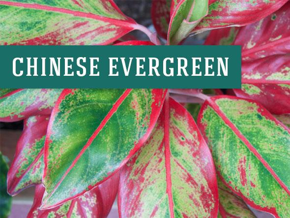 Chinese Evergreens are one of the many plants that help clean the air
