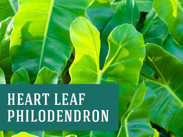 Heart Leaf Philodendron Indoor Plant