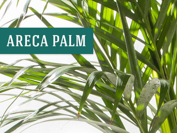 Areca Palm - Great Office Plants