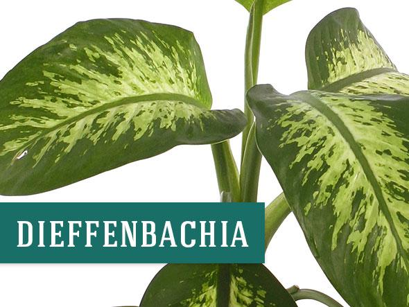 Dieffenbachia houseplant that helps clean the air