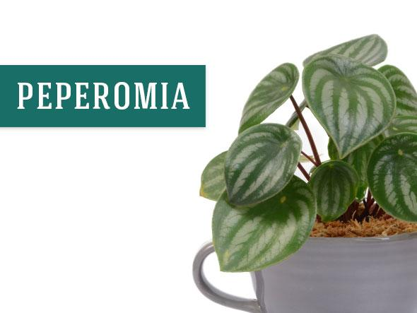 Peperomia Houseplant in a Tea Cup