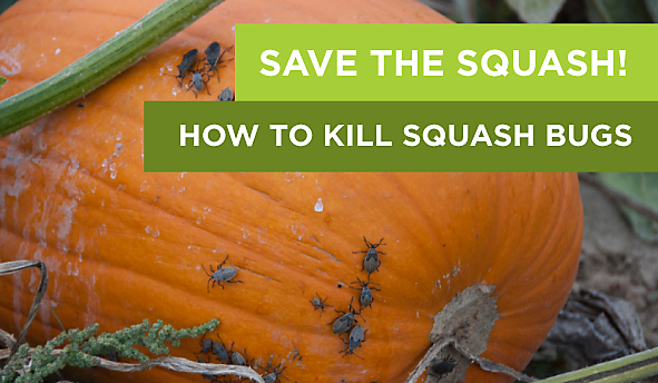 Save the Squash: How to Kill Squash Bugs