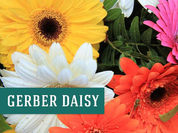 Gerber Daisy are colorful indoor plants that can help purify the air