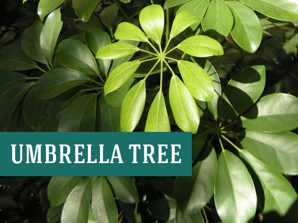 Best Office Plants - Umbrella Tree