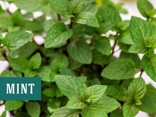 Growing mint indoors helps keep bugs away and purifies the air