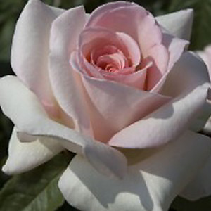 Type of Rose: Francis Meilland Rose