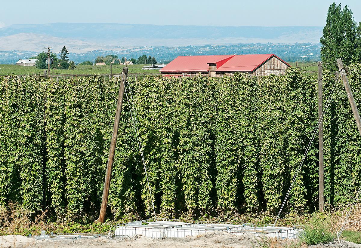 Organic hop vines