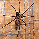 get rid of indoor spiders
