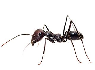 target ants