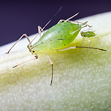 Aphid Baby