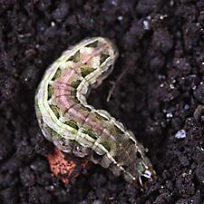 Armyworm Digging