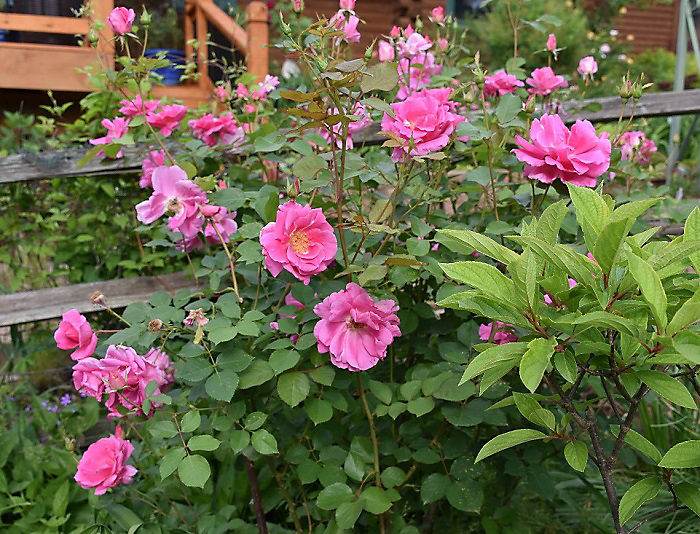 Disease Resistant Roses: Carefree Beauty Rose