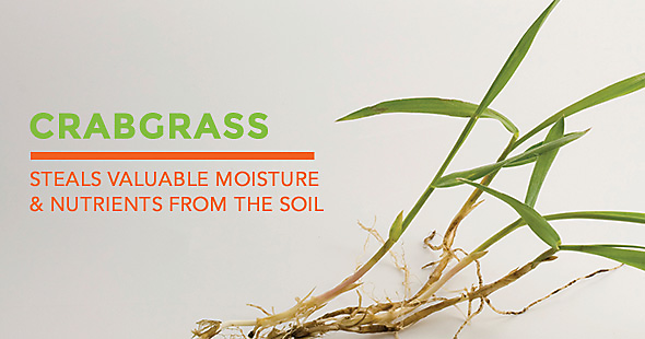 what is crabgrass