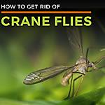Crane Flies
