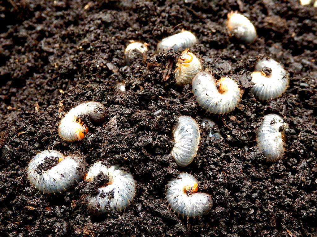 To determine if you need to address a grub problem in your lawn dig up a section of the lawn at the edge of a brown patch and search for grubs.