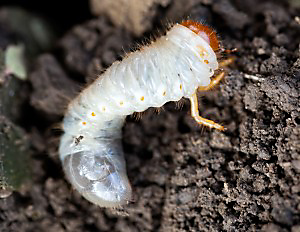 Masked Chafer Beetle Grubs are a common lawn pest.