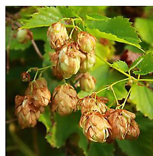 Harvest organic hops