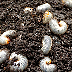 Kill Lawn Grubs