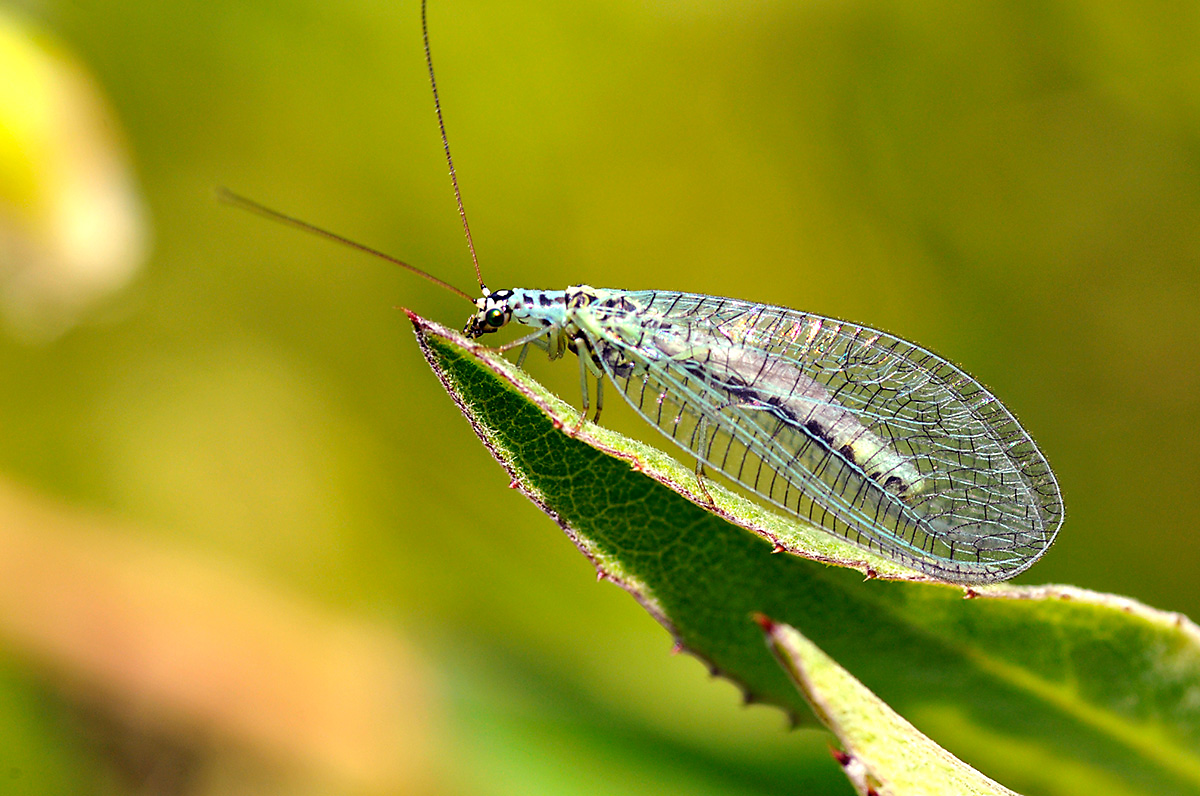 Lacewings are insects commonly used in biological pest control to fight a variety of pests, including thrips, mites, mealybugs and aphids.