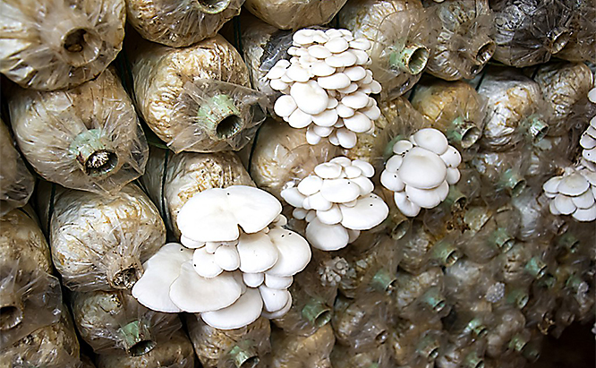 Organic mushroom farming operations often struggle with pest control since there are numerous fungivore species that thrive on fungi.