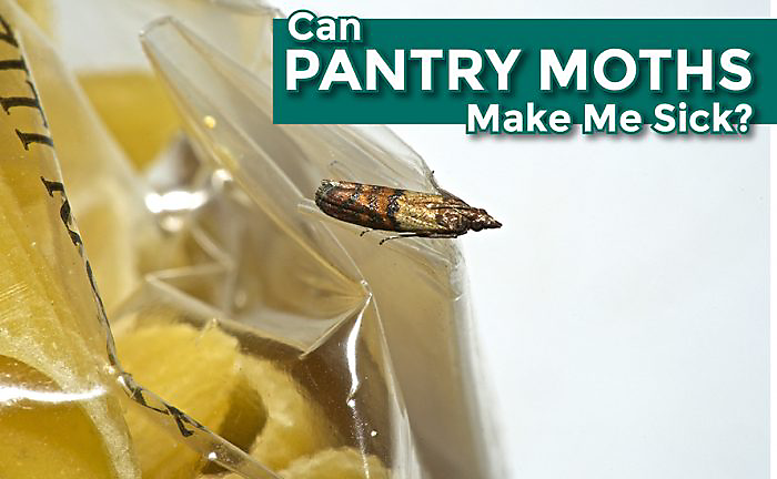 Pantry Moth Larvae Can Sometimes Infest Crackers. After This Worm Like  Stage, The Larvae Will Develop Into A Moth.